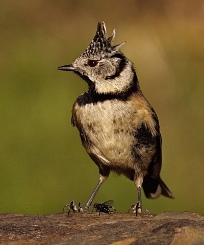 Fly with Crested Tit