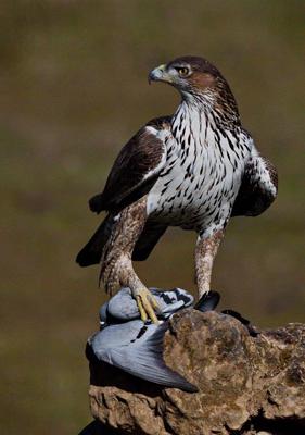 Rock Dove with Bonellis Eagle