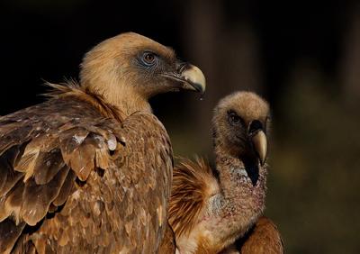 Wild Griffon Vultures