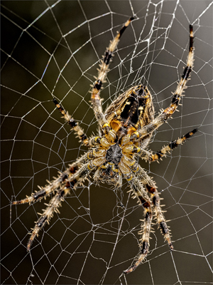 Come into my web Araneus Diadematus