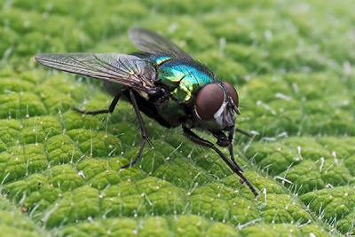 Common Blowfly