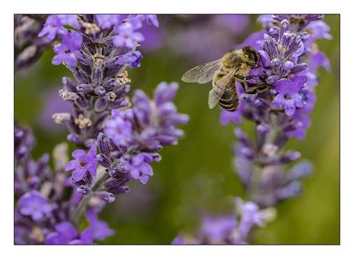 Summer Lavender