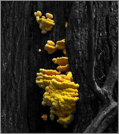 Michelin Man Fungus_Fungus Laetiporus