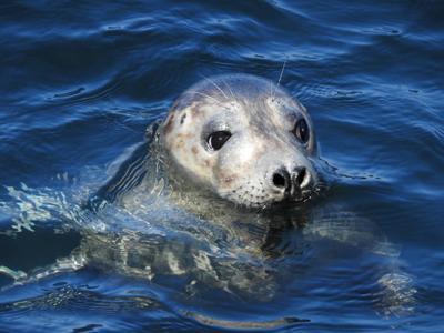 Grey Seal Lundy Island