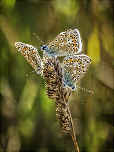 Adonis Blue Butterfly Lysandra bellargus