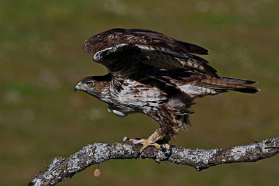 Bonellis eagle take off