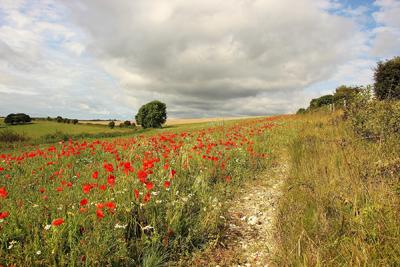Walk through the poppies